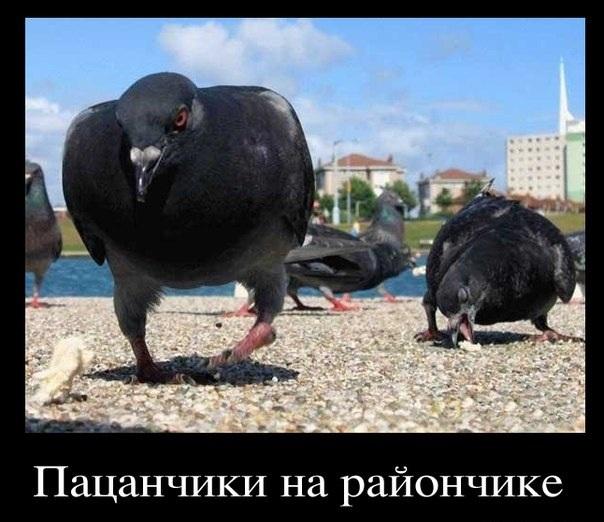 Демотиваторы про голубей