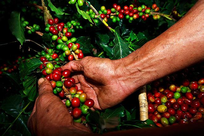 Куда ехать за кофе: Камбоджа