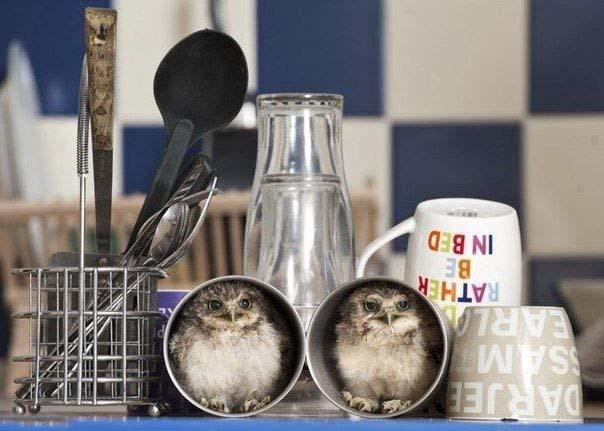 Домашние совята Линфорд и Кристи