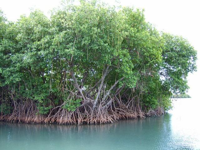 Мангрові дерева