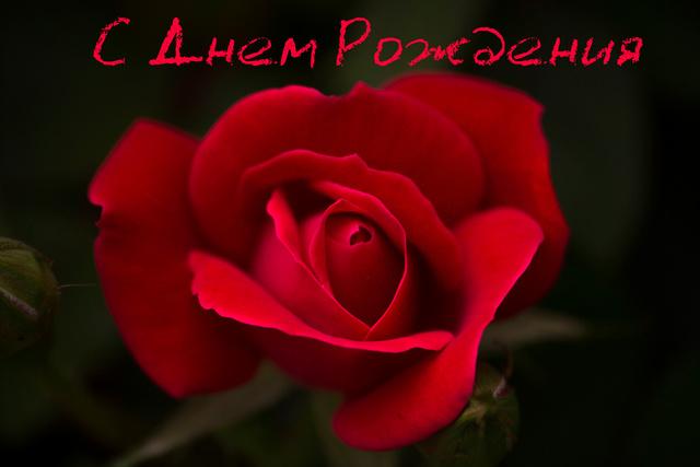 Роза ко дню рождения