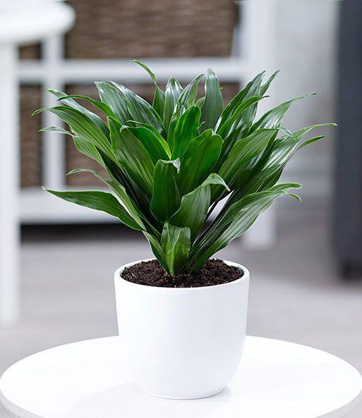 Неприхотливые растения для дома: драцена
