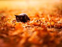 Черная кошка в осенних листьях