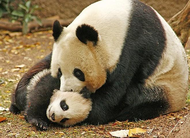 Панда: занесено до Червоної Книги