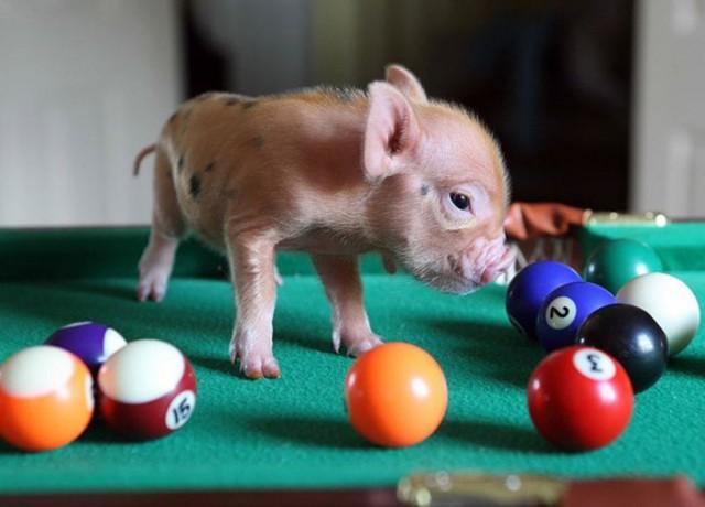 Мини-свинки в яркой фотосессии