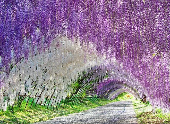 Цветение глициний в парке Асикага