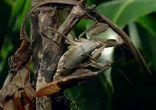 Самка богомола съедает партнера