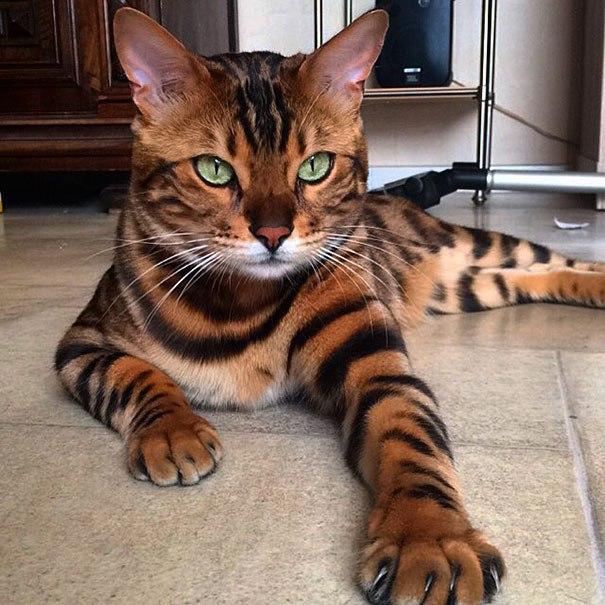 Невероятный Тор — бенгальский кот с самой красивой шерстью