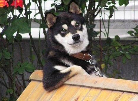 Чёткий пес