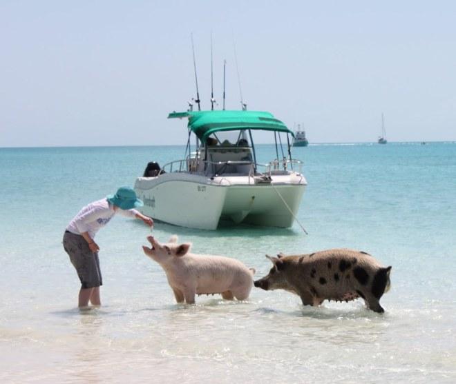 Необычный туризм: Остров плавающих свинок
