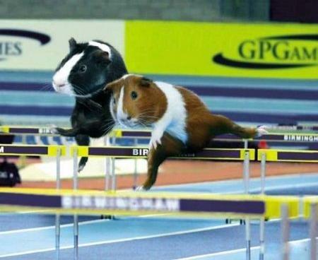 Морские свинки в спорте