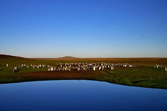 Где встретить пингвинов: Пингвины на островах близ Огненной Земли - Королевский пингвин