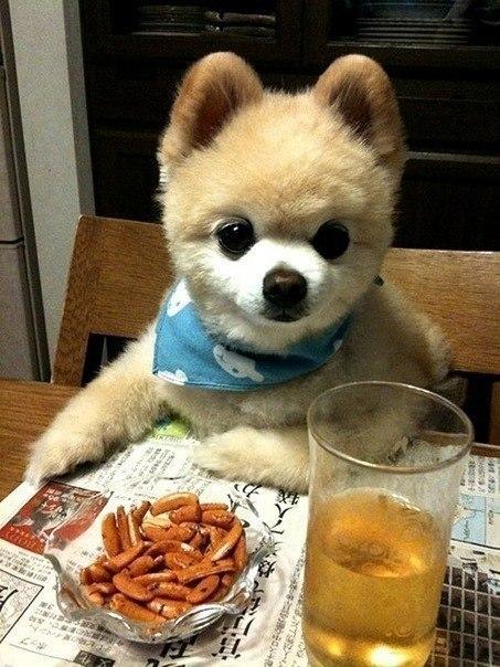 Звезда Твиттера: очаровательный шпиц Шунсуке из Японии