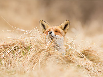 фотопроект щасливі лисиці