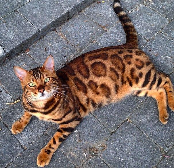 """Результат пошуку зображень за запитом """"бенгальський кіт"""""""