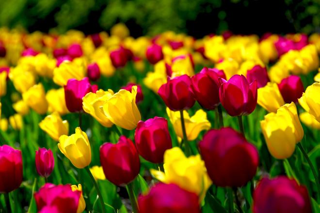 тюльпанове поле