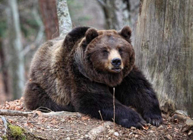 Ведмідь викрав свого побратима, але запізно