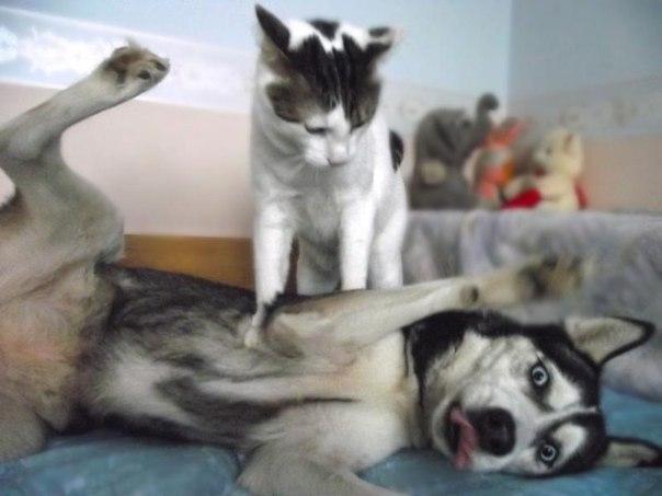Жестокий бой котэ и хаски. Прикол
