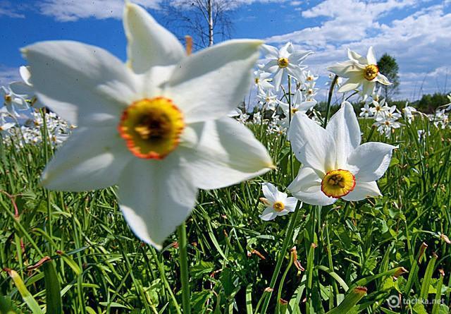 Куда поехать на майские 2012: Долина нарцисов в Закарпатье