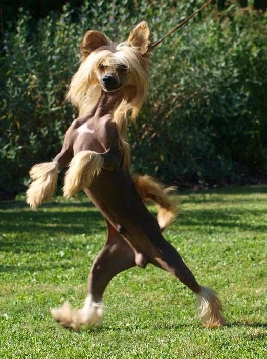 Cамые смешные породы собак: Китайская хохлатая