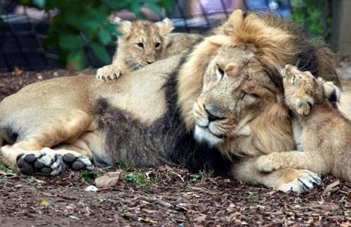 В мире диких кошек=)