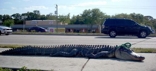 Алигатор на выгуле