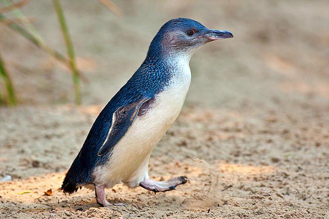 Где встретить пингвинов: Пингвины в Австралии - Малый голубой пингвин