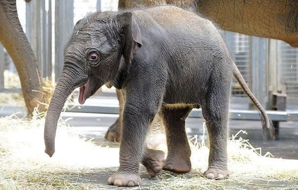 Новорожденный слоненок и его мама