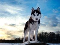 Самая величественная собака