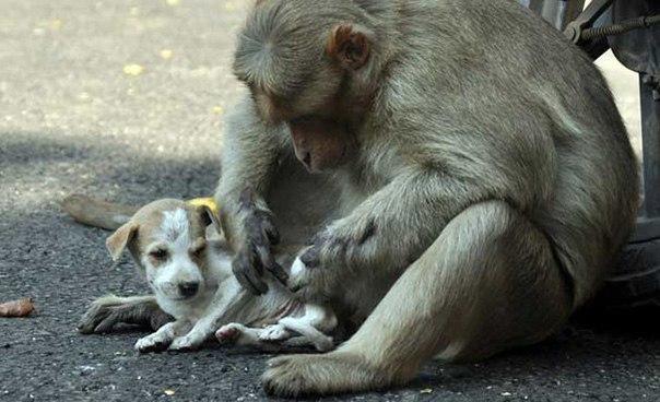 Материнская любовь. Обезьяна воспитала собачку