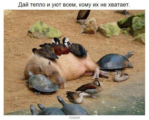 Правила жизни капибары