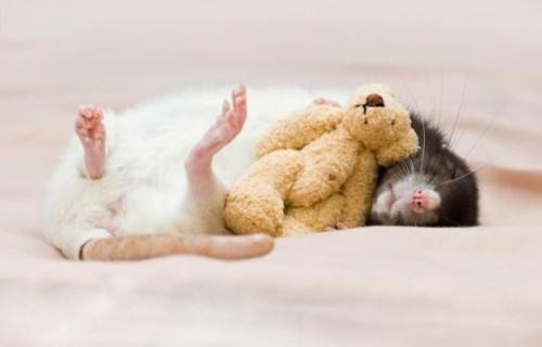 Спящая крыска