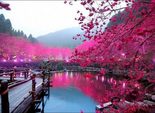 Цвітіння сакури в Японії