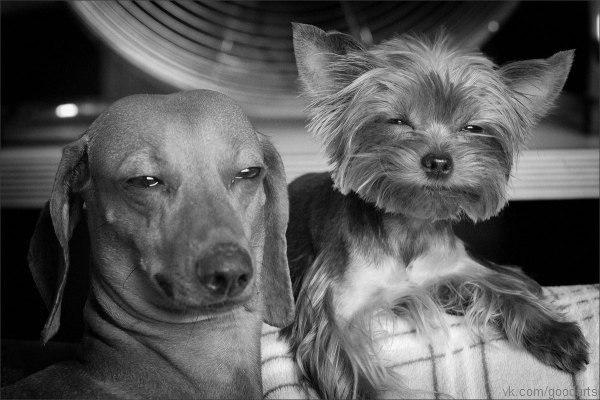 Собаки-подозреваки