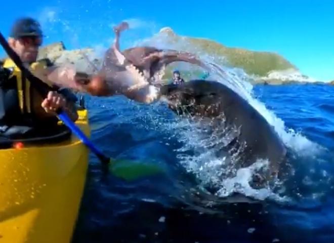 видео тюлень осьминог человек