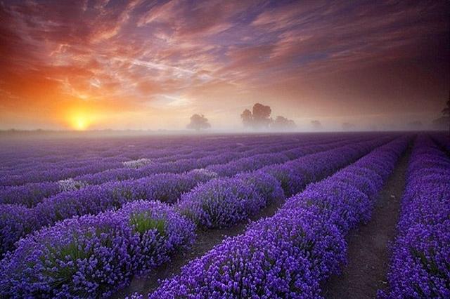 Лавандові поля у Франції