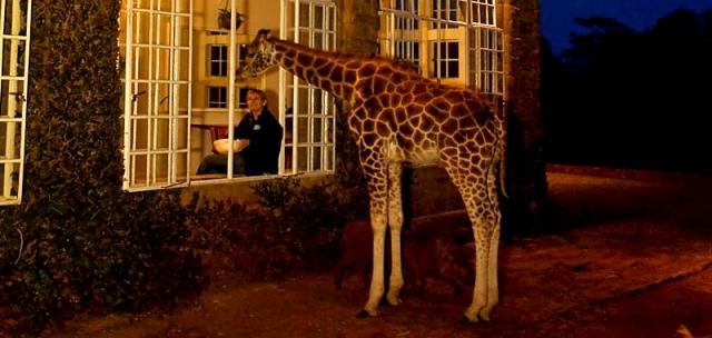 Где встретить дикое животное: Жирафы в Кении