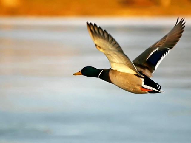 Путешествуем вслед за птицами: миграция диких качек