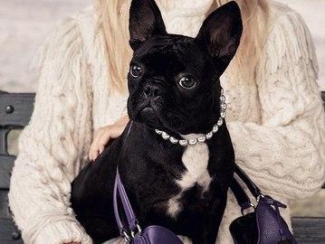 Собака Леди Гаги стала лицом бренда Coach