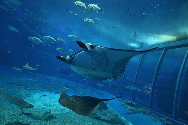 Океанаріум світу: The Okinawa Churaumi Aquarium, Японія