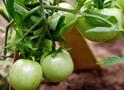 Зелені помідори на зиму: правила соління