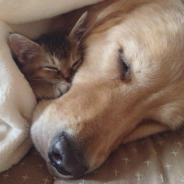 Самый добрый пес на свете - золотистый ретривер Понзу