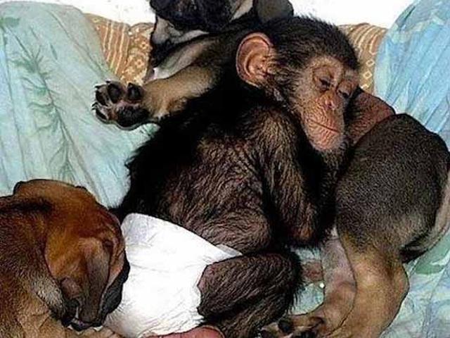 У малыша шимпанзе умерла мама и сотрудник зоопарка принес его домой к своей
